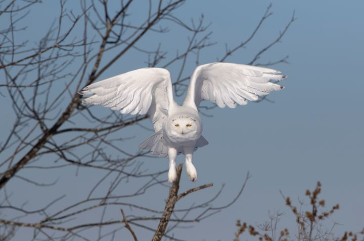 Snowy owl hunting - Jim Cumming