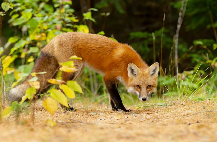 Red fox in Algonquin Park - Jim Cumming