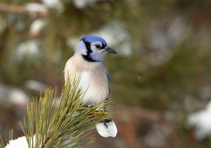 Blue Jay in winter - Jim Cumming