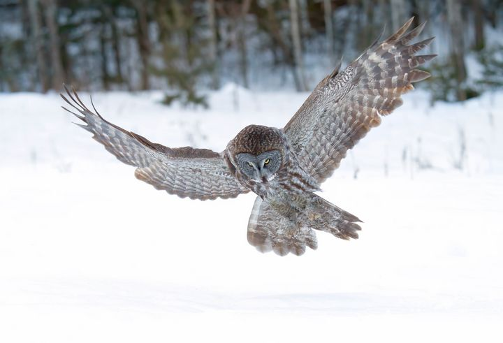 Great grey owl - Jim Cumming