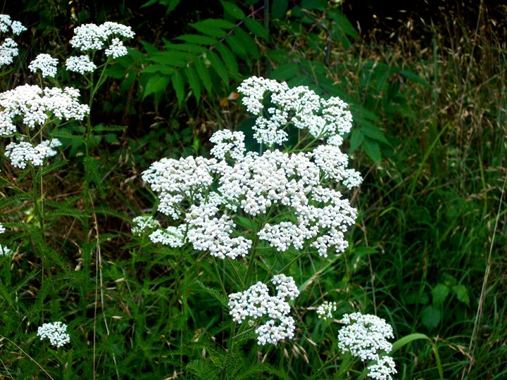 white lace flower - The Lemon Tree