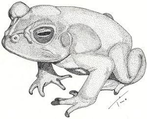 Toad (Prints) - Tory Andrew Hurtado