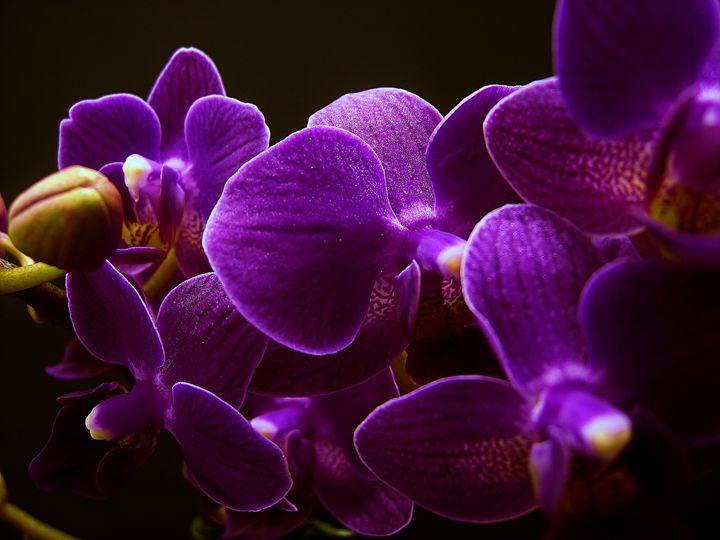 Dancing Orchids - McLachlan