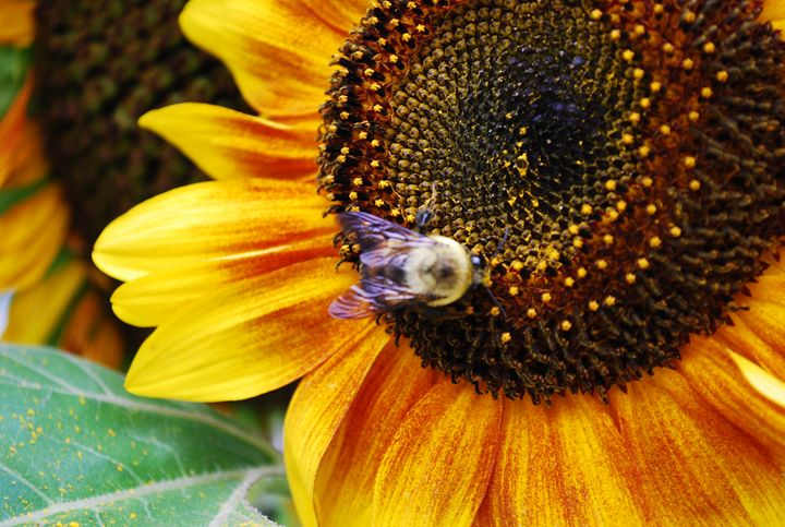 The Sunflower and the Bee - The Artwork of Candice Zepeda