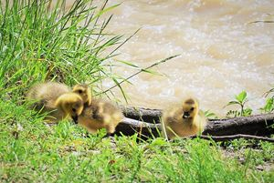 Goslings by the Humber River - The Artwork of Candice Zepeda