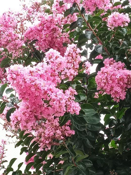 Pink Azalea - Shannon's Art