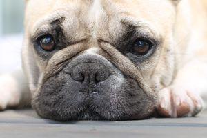 French Bulldog - Alex Art