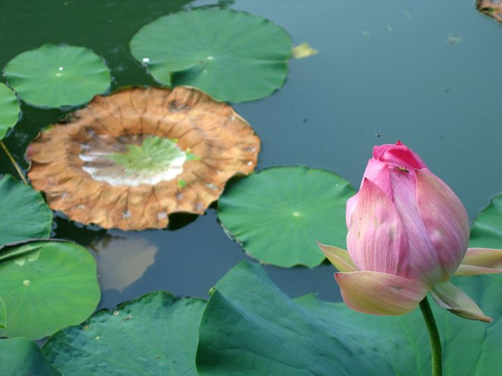 Lotus Blossoms - Still Waters Arts
