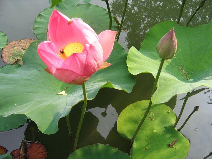Lotus blossom - Still Waters Arts