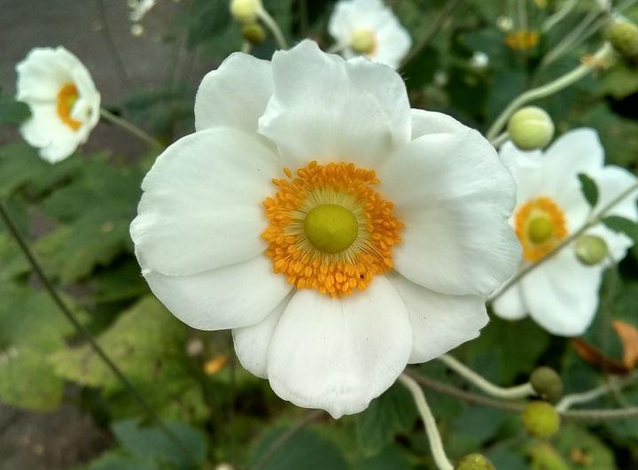 Japanese Anemone - Yayan