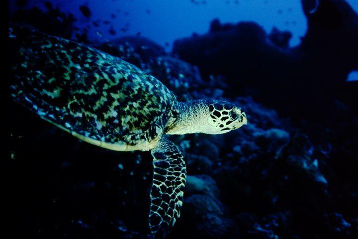 Turtle on the reef - dbJR