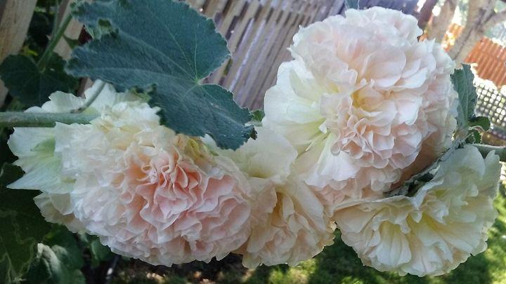 Garden Bloom - Lilly Hope