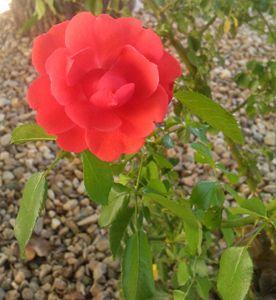 Reaching Rose