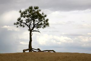 Lonely Tree - Harrison Graves
