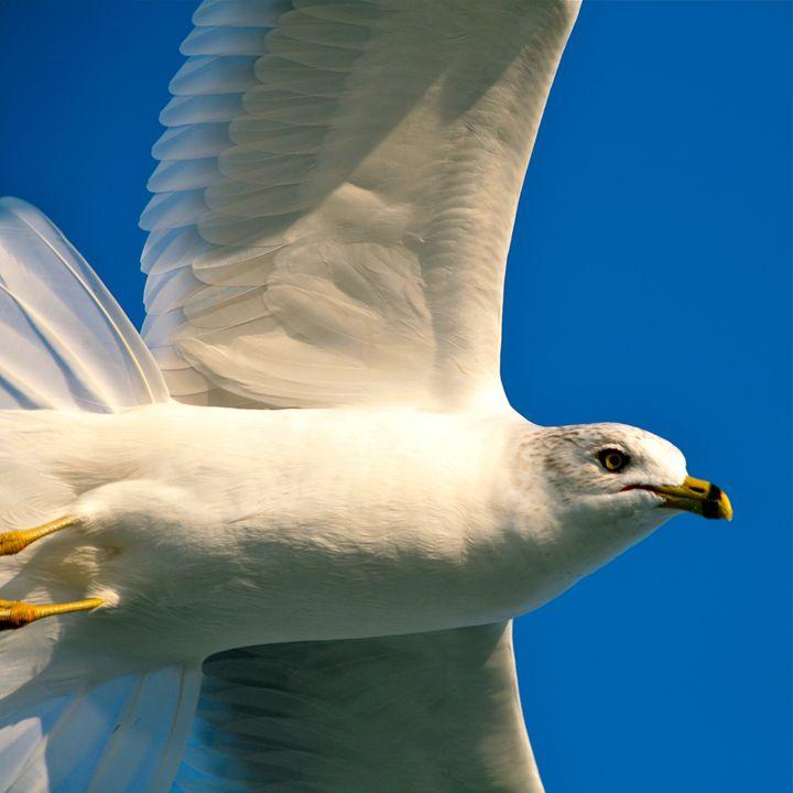 Ring Billed Gull - Harrison Graves