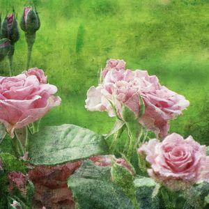 The Pink Rose Garden