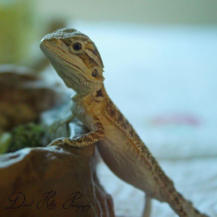 curious lizard - Daniel Hilton