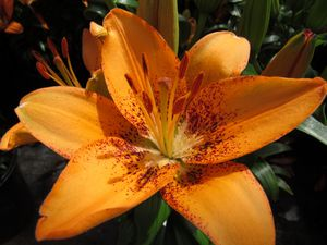 Lovely Lily