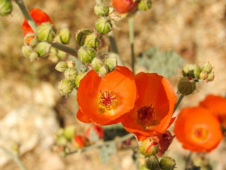 Desert Mallow - Photos by Jenn