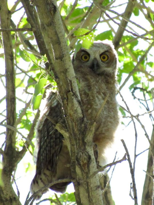 Great Horned Owl - Photos by Jenn