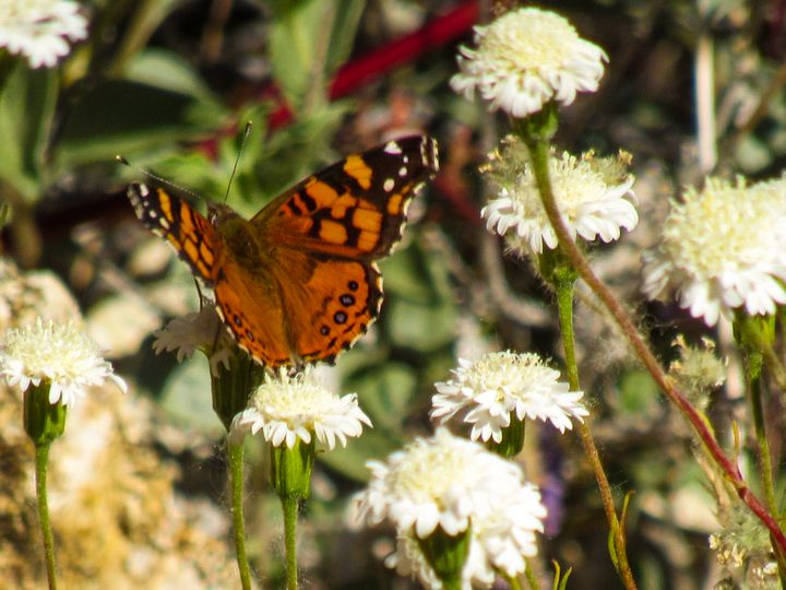 Painted Lady - Photos by Jenn
