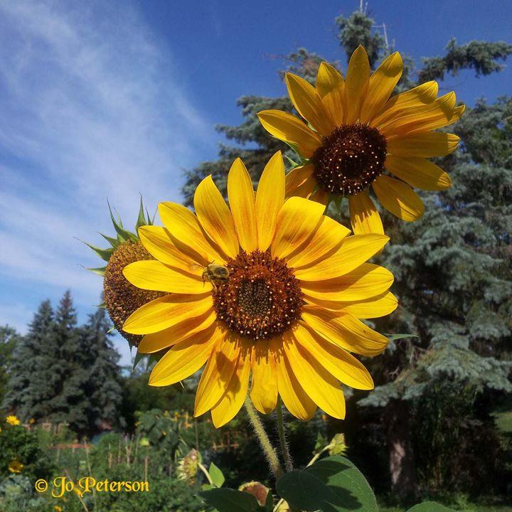 Sunflowers - Digital Artwork Jo peterson