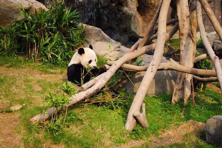 Panda bear - Luzi