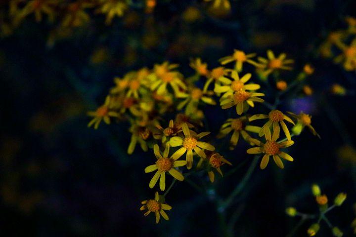 Yellow Scenecio Integerrimus - Prajna Photography