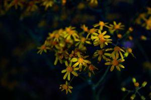 Yellow Scenecio Integerrimus