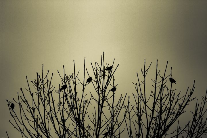 crows - Photography