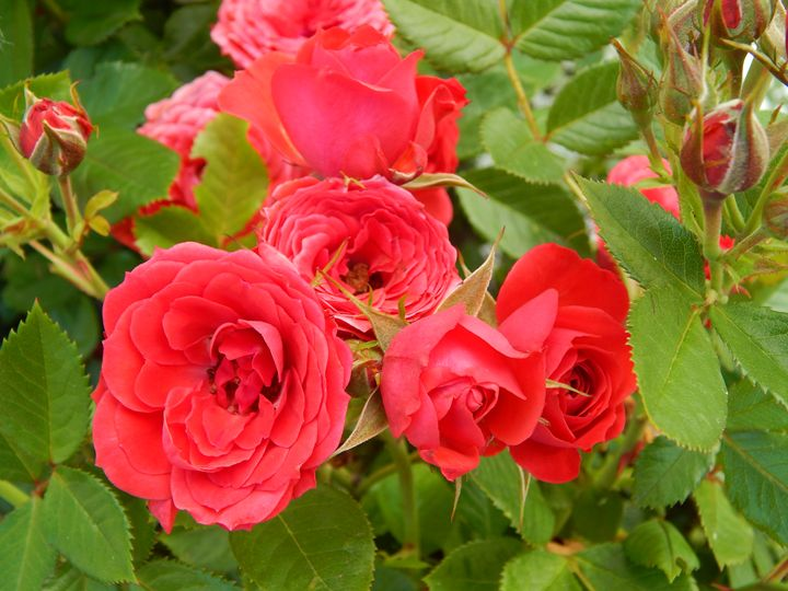 Blooming Red Roses - Daniel's Work