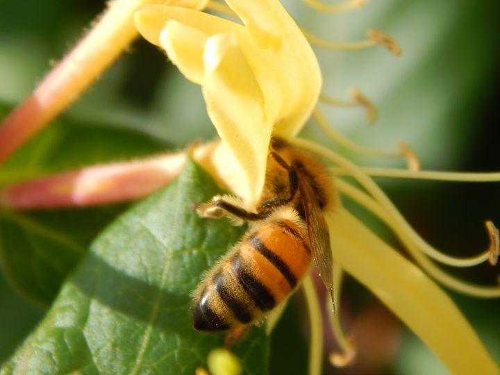 Honey Bee - Daniel's Work