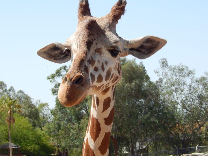 A Giraffe getting fed - Daniel's Work