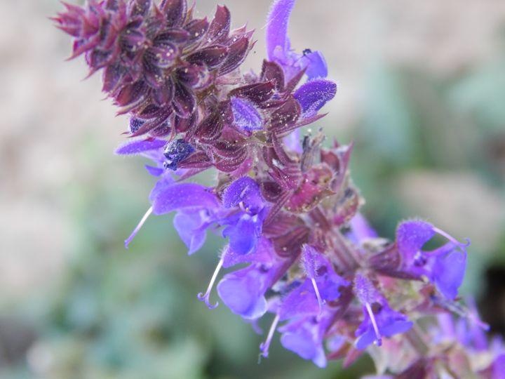 Lavender Up-Close - Daniel's Work