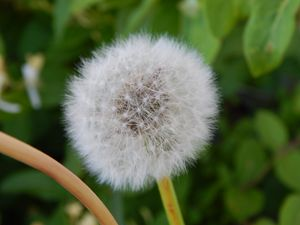 The Perfect Dandelion