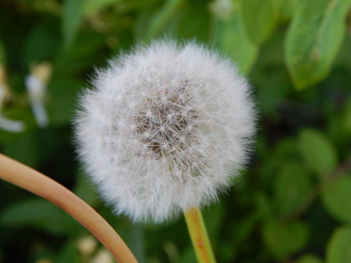 The Perfect Dandelion - Daniel's Work