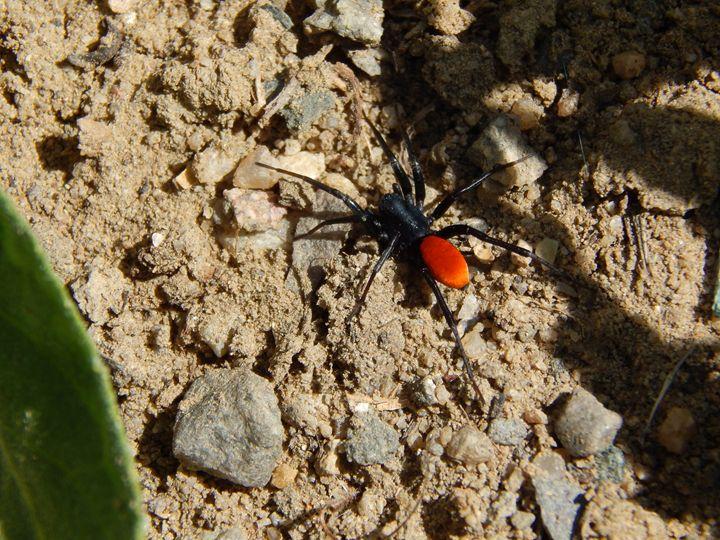 Ant Mimic Spider - Daniel's Work