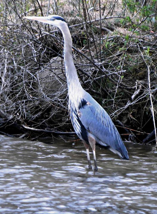 Great Blue Heron - bancroft