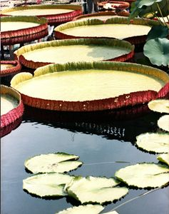 Monster lilypads