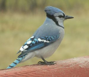Gorgeous Bluejay - Rachel's Photos & Drawings