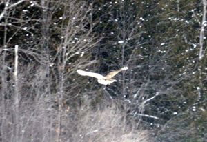 Barred Owl in Flight - Rachel's Photos & Drawings