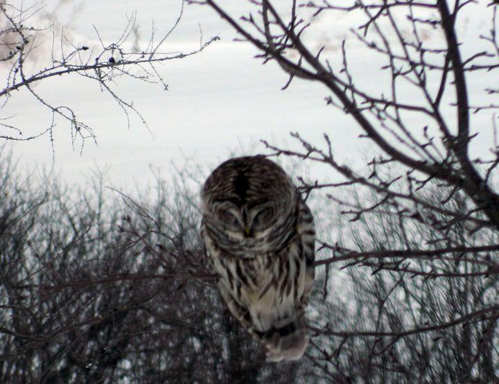 Barred Owl - Rachel's Photos & Drawings