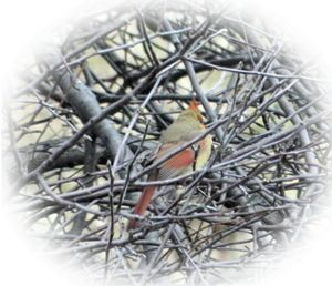 Female Cardinal - Rachel's Photos & Drawings