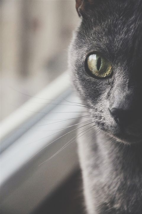Russian Blue - bubah