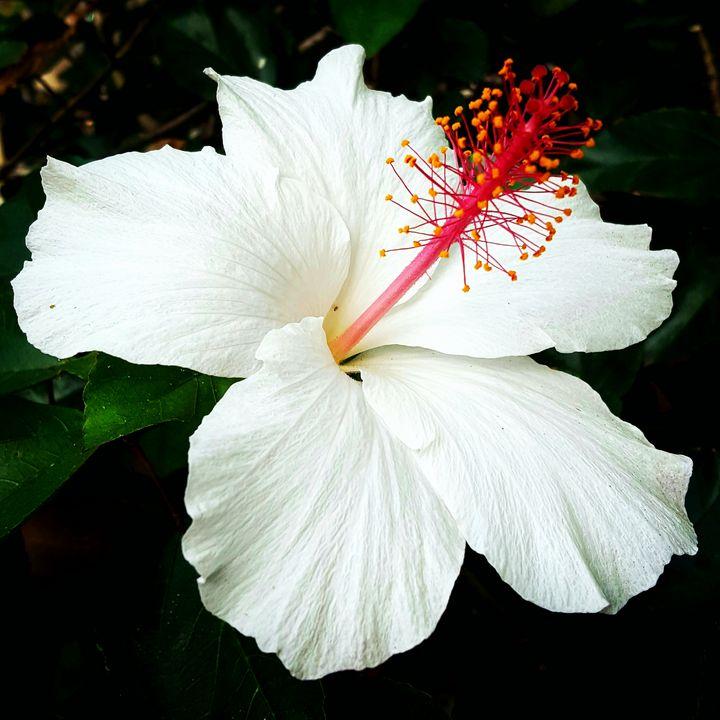 White Hibiscus - J.A.Logan Art