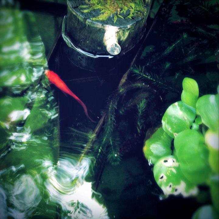 a lone goldfish - hiroko tanaka