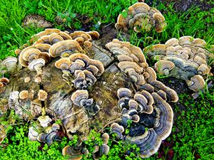 Turkey Tail 1