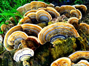 Turkey Tail 4