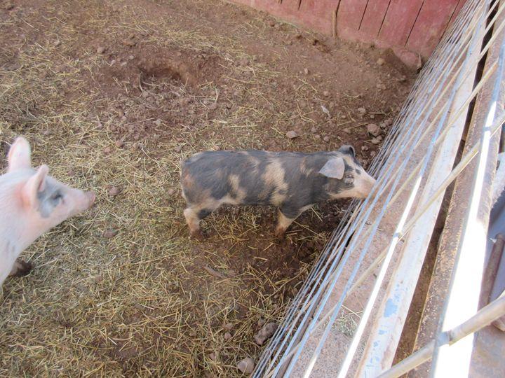 Pigs - My Evil Twin