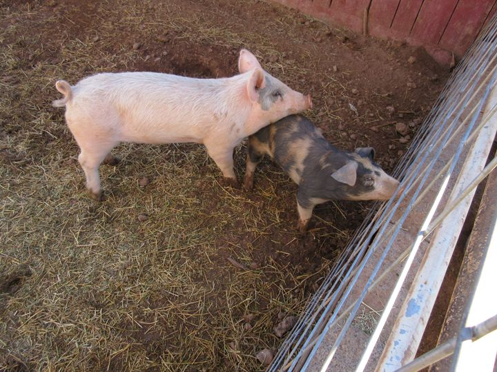 A Pair Of Pigs #2 - My Evil Twin